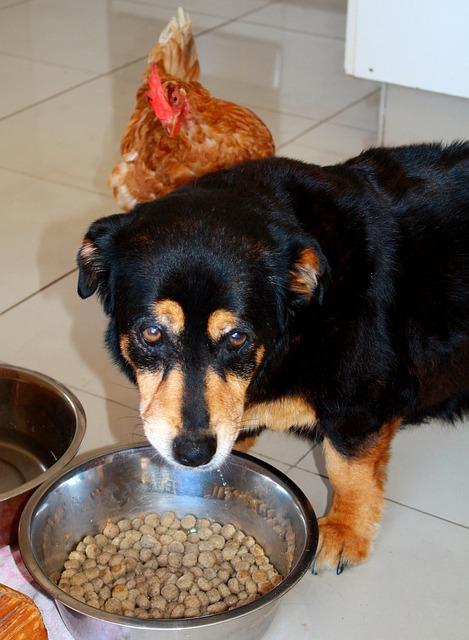 Mon chien ne veut plus manger ses croquettes