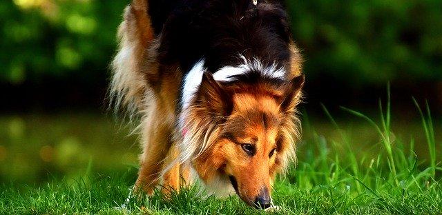 Alimentation poils chiens